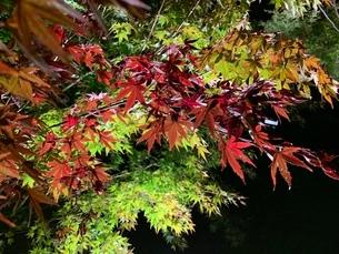 緑から茜色に色づき始める紅葉のライトアップの写真素材 [FYI03390702]
