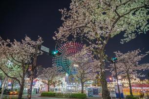 コスモクロックと夜桜のイメージの写真素材 [FYI03390774]