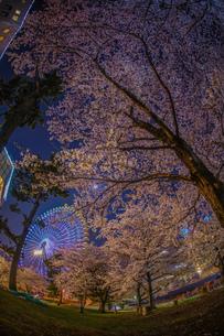 みなとみらいの夜桜と観覧車の写真素材 [FYI03390830]