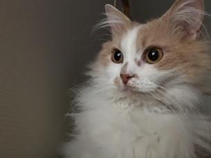 ラパーマという珍猫の写真素材 [FYI03390874]