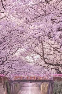 桜 目黒川 日本 東京都 目黒区の写真素材 [FYI03391069]