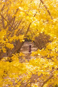 垂水千本イチョウ 日本 鹿児島県 垂水市の写真素材 [FYI03391499]
