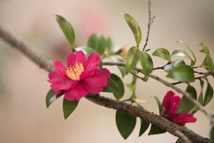 山茶花の写真素材 [FYI03391568]