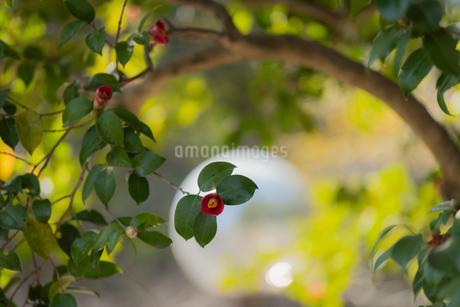 椿 多賀山公園 日本 鹿児島県 鹿児島市の写真素材 [FYI03391593]