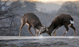 飛火野の鹿  日本 奈良県 奈良市の写真素材 [FYI03391862]