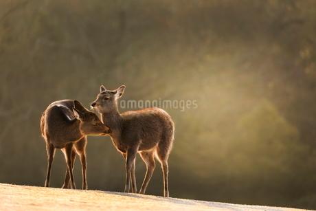 飛火野の鹿  日本 奈良県 奈良市の写真素材 [FYI03391863]