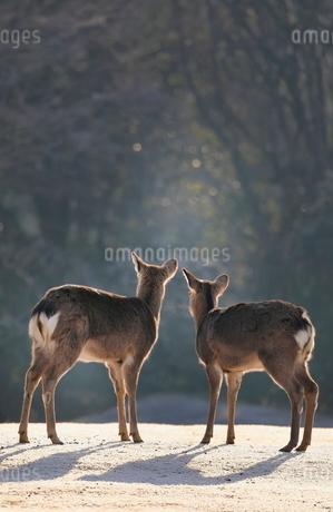 飛火野の鹿 日本 奈良県 奈良市の写真素材 [FYI03391864]