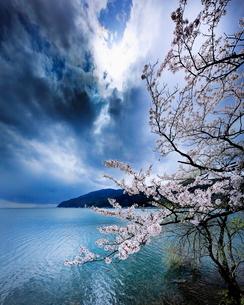 大浦から海津大崎の桜並木を望む 日本 滋賀県 長浜市の写真素材 [FYI03391877]