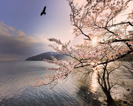 奥琵琶湖の大浦から海津大崎を望む夕景桜 日本 滋賀県 長浜市の写真素材 [FYI03391880]