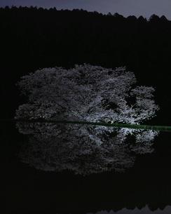 牛繋ぎの桜 日本 奈良県 宇陀市 諸木野の写真素材 [FYI03391883]