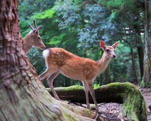 子鹿 日本 奈良県 奈良市 春日野町の写真素材 [FYI03391917]
