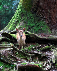 子鹿 日本 奈良県 奈良市 春日野町の写真素材 [FYI03391918]