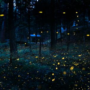 ヒメボタル 内尾神社 日本 兵庫県 丹波市の写真素材 [FYI03391936]