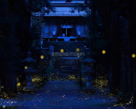 ヒメボタル 内尾神社 日本 兵庫県 丹波市の写真素材 [FYI03391940]