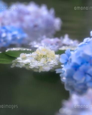 あじさい 大阪府 池田市 伏尾町 日本 の写真素材 [FYI03391941]