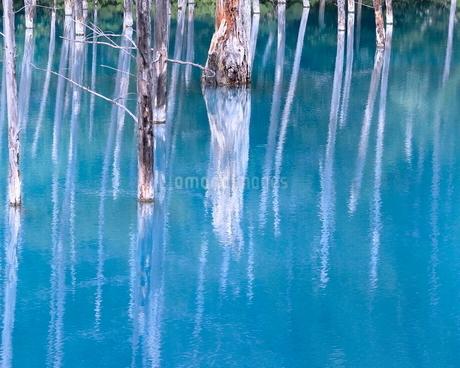 青い池 日本 北海道 美瑛町の写真素材 [FYI03391954]