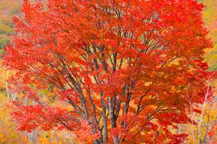 乗鞍高原 一之瀬園地 大カエデ 日本 長野県 松本市の写真素材 [FYI03392115]