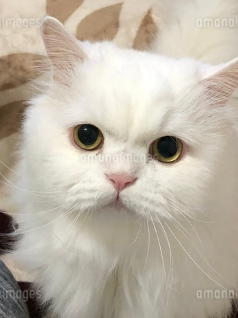 ペルシャの白猫です。の写真素材 [FYI03392173]