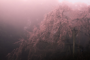 奥山田のしだれ桜 日本 愛知県 岡崎市の写真素材 [FYI03392377]