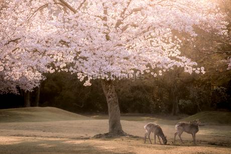 鹿と桜 飛火野 日本 奈良県 奈良市の写真素材 [FYI03392412]