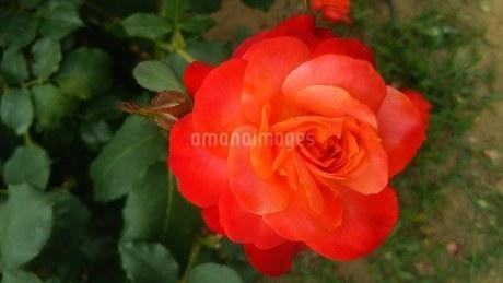薔薇の写真素材 [FYI03392438]