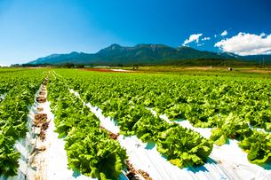 野辺山高原野菜畑と八ヶ岳連峰の写真素材 [FYI03392450]