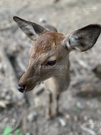 鹿の写真素材 [FYI03392460]