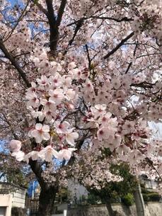 桜の写真素材 [FYI03392663]