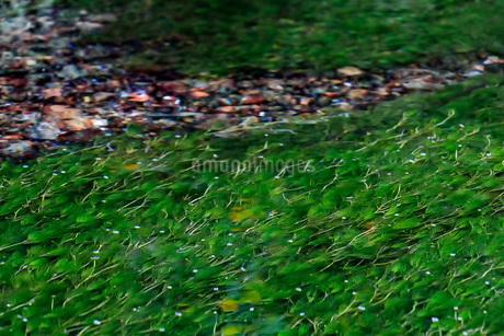 醒井の梅花藻 日本 滋賀県 米原市の写真素材 [FYI03392896]