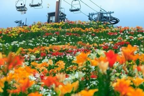 びわこ箱館山ゆり園 日本 滋賀県 高島市の写真素材 [FYI03392904]