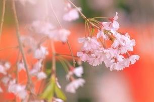 上賀茂神社 日本 京都府 京都市の写真素材 [FYI03392936]