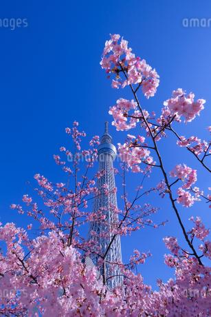 東京スカイツリー 日本 東京都 墨田区の写真素材 [FYI03393109]