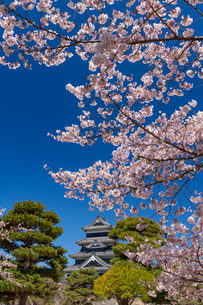 桜咲く松本城の写真素材 [FYI03393435]