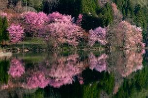 中綱湖の桜の写真素材 [FYI03393458]
