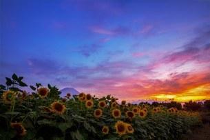 山中湖花の都公園 日本 山梨県 山中湖村の写真素材 [FYI03393499]