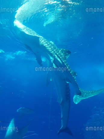 水族館ジンベイザメ泳ぐの写真素材 [FYI03394279]