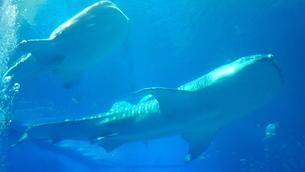 水族館ジンベイザメ泳ぐの写真素材 [FYI03394282]