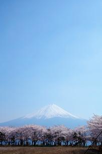 富士山と桜の写真素材 [FYI03394359]