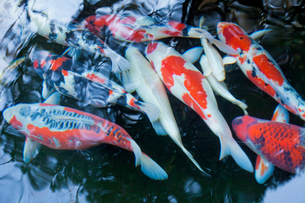 錦鯉の写真素材 [FYI03394387]