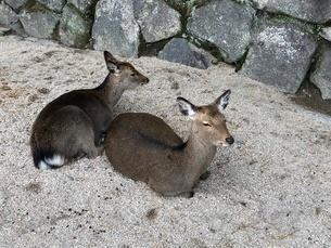 鹿2頭の写真素材 [FYI03394460]