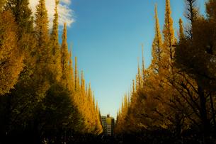 神宮外苑いちょう並木の銀杏の写真素材 [FYI03394548]