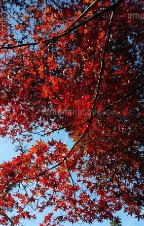 紅葉の写真素材 [FYI03394740]