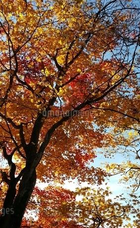 紅葉の写真素材 [FYI03394742]