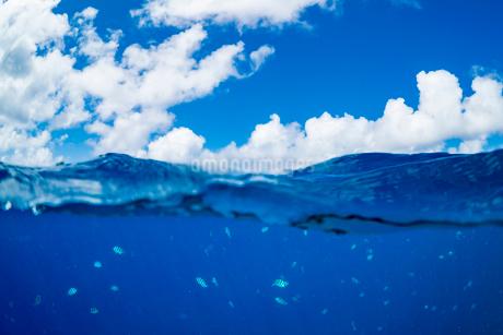 小笠原 青い海を泳ぐロクセンスズメダイの写真素材 [FYI03394828]