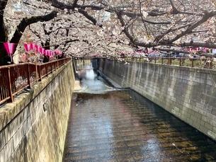 桜の写真素材 [FYI03394841]