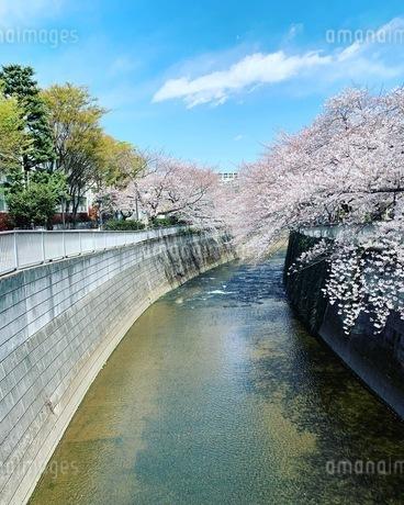 桜の写真素材 [FYI03394843]