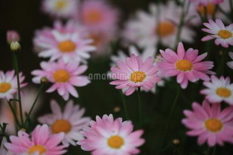 ヒナギクの写真素材 [FYI03394901]