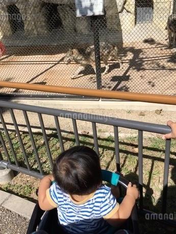 オオカミと赤ちゃんの写真素材 [FYI03395209]