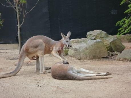寝ている仲間にちょっかいをだすカンガルー(kangaroo)の写真素材 [FYI03395266]