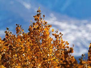 背景に残雪が見えるアスペンの木の紅葉の写真素材 [FYI03395383]